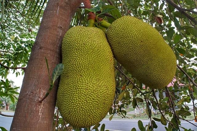 benefits of jackfruit in hindi